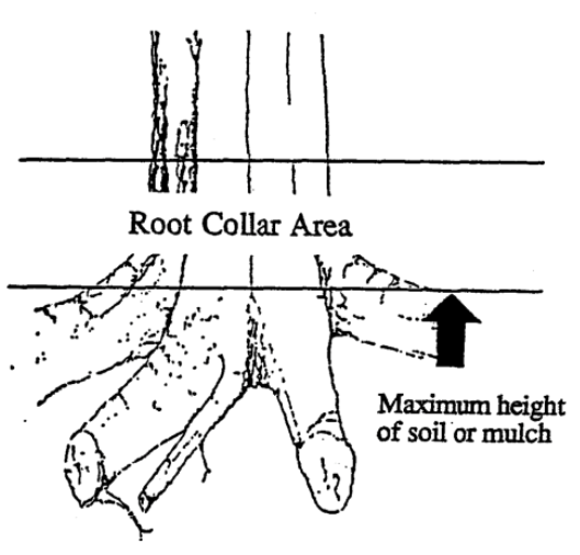 root collar area